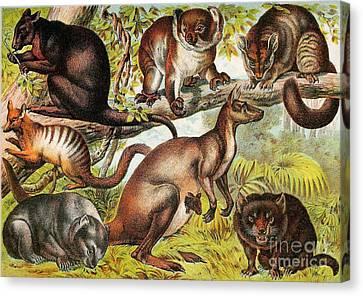 Marsupials Canvas Print by Biodiversity Heritage Library