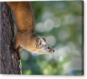 Tracy Munson Canvas Print - Marten On Tamarack by Tracy Munson