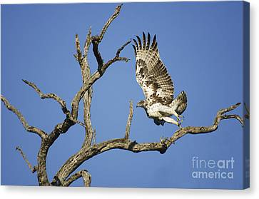Martial Eagle In South Africa Canvas Print