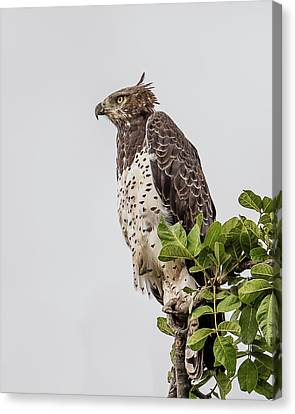 Martial Eagle Overlooking The Bush Canvas Print