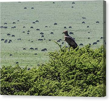 Martial Eagle Overlooking Wildebeest Grazing On The Grasslands Canvas Print
