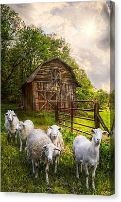 Mary Had A Little Lamb Canvas Print by Debra and Dave Vanderlaan