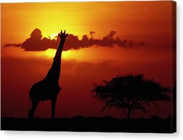 Masai Giraffe Giraffa Camelopardalis Canvas Print by Gerry Ellis
