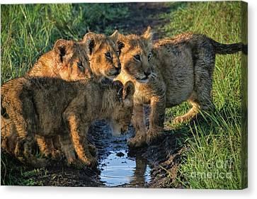 Canvas Print featuring the photograph Masai Mara Lion Cubs by Karen Lewis