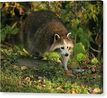 Canvas Print featuring the photograph Maskless Raccoon by Doris Potter