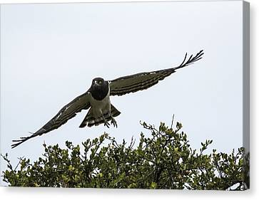 Master Of The Sky Canvas Print