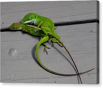 Mating Anoles Canvas Print