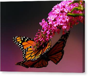 Mating Game II Canvas Print by Irma BACKELANT GALLERIES