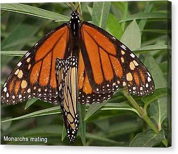 Canvas Print featuring the photograph Mating Monarchs by Sandy Collier