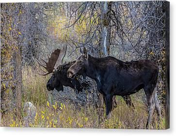 Mating Moose Canvas Print