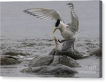 Canvas Print featuring the photograph Mating Pair 2 by Werner Padarin