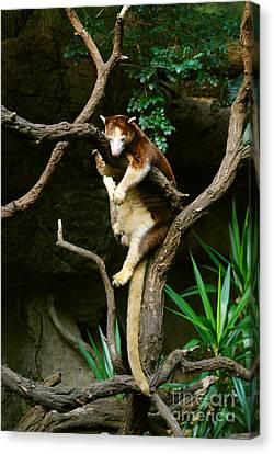 Matschies Tree Kangaroo Canvas Print by John Kaprielian