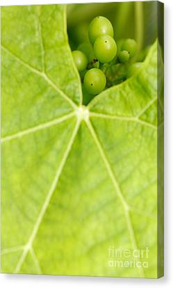 Maturing Wine Grapes Canvas Print by Gaspar Avila
