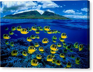 Maui Butterflyfish Canvas Print