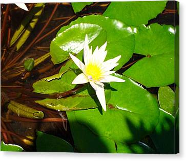 Canvas Print featuring the photograph Maui Lily by Tamara Bettencourt