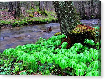 May-apples And Middle Fork Of Williams River Canvas Print by Thomas R Fletcher