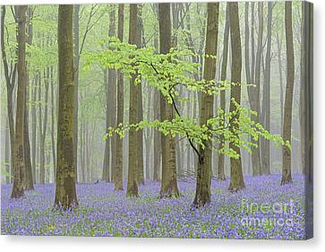 Foggy Day Canvas Print - May Bluebells by Richard Thomas