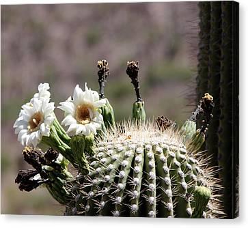 May Saguaro Blossoms Canvas Print