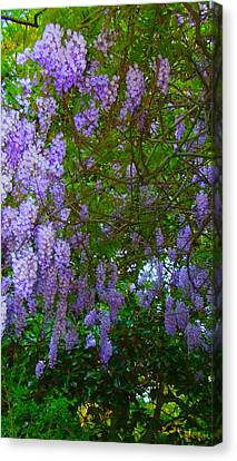 May Wisteria At Duke Gardens Canvas Print by Angela Annas
