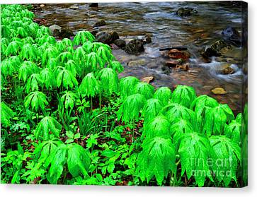 Mayapples And Middle Fork Of Williams River Canvas Print by Thomas R Fletcher