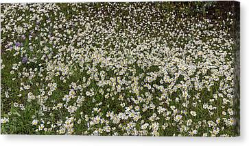 Canvas Print featuring the photograph Meadow Of Daisey Wildflowers Panorama by James BO Insogna