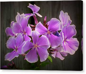 Meadow Phlox, Wild Sweet William Canvas Print