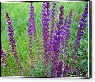 Meadow Sage Canvas Print by Emily Kelley