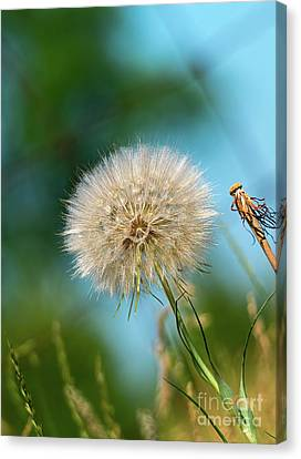 Meadow Salsify Plant In Seed Canvas Print