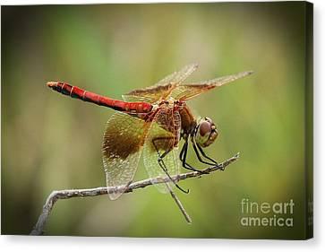 Meadowhawk Dragonfly Canvas Print