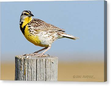 Canvas Print featuring the photograph Meadowlark 1 by Don Durfee
