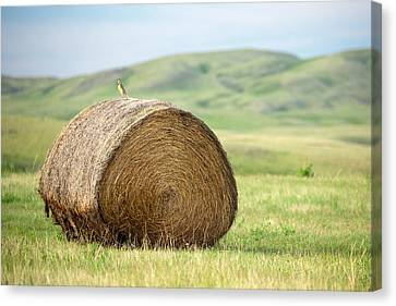 Meadowlark Canvas Print - Meadowlark Heaven by Todd Klassy