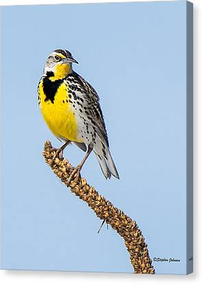Meadowlark On Mullein Stalk Canvas Print by Stephen Johnson
