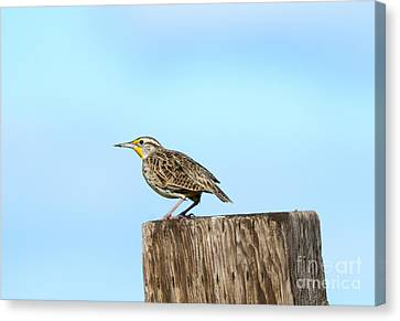 Meadowlark Canvas Print - Meadowlark Roost by Mike Dawson