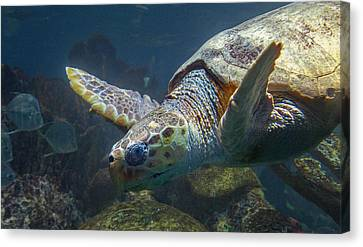 Schooling Canvas Print - Meandering Green Sea Turtle by Betsy Knapp