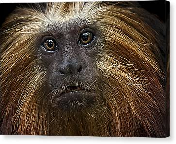 Primate Canvas Print - Medicine Man by Paul Neville