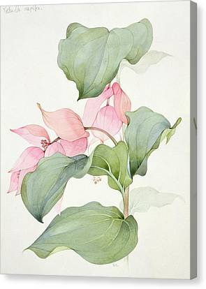 Anther Canvas Print - Medinilla Magnifica by Sarah Creswell