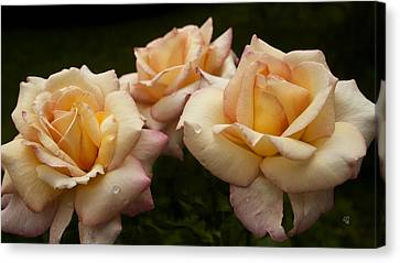 Medley Of Three Yellow Roses Canvas Print by Barbara Middleton