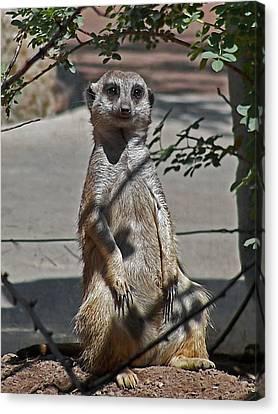 Meerkat 2 Canvas Print by Ernie Echols