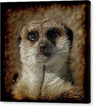 Meerkat 4 Canvas Print by Ernie Echols