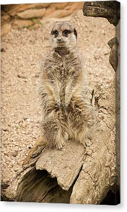 Canvas Print featuring the photograph Meerkat by Chris Boulton
