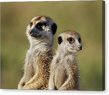 Meerkat Duo Canvas Print