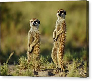 Meerkat Pair Canvas Print