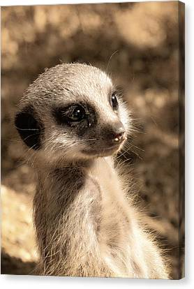 Meerkatportrait Canvas Print