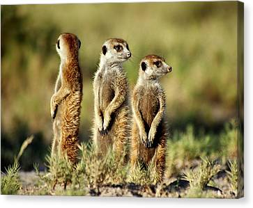 Meerkats Three Canvas Print