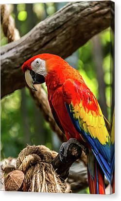 Meet The Macaws Canvas Print