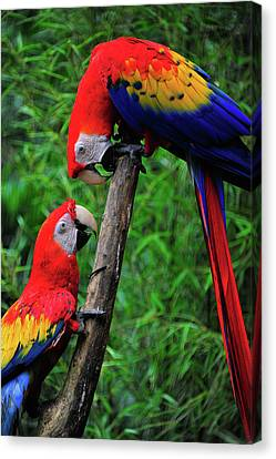 Meeting Of The Macaws  Canvas Print by Harry Spitz
