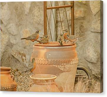Meeting Of The Robins Canvas Print by Allen Sheffield