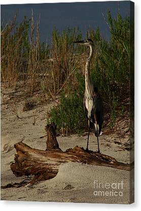 Mein Heron Canvas Print by Mark Holbrook