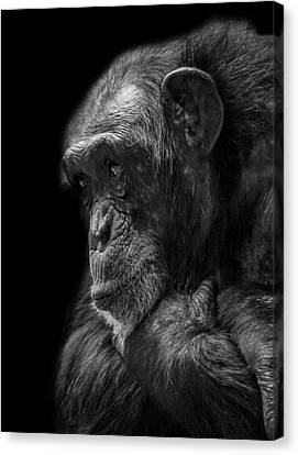Chimpanzee Canvas Print - Melancholy by Paul Neville