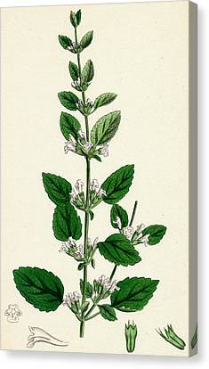 Melissa Officinalis Common Balm Canvas Print by Unknown